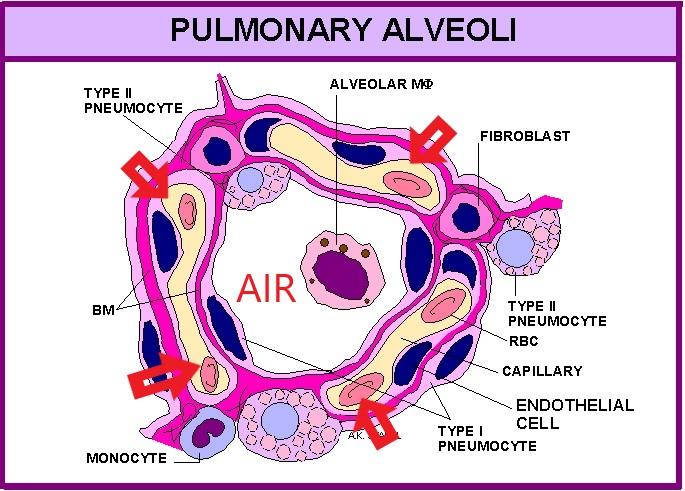 Alveoli annotated