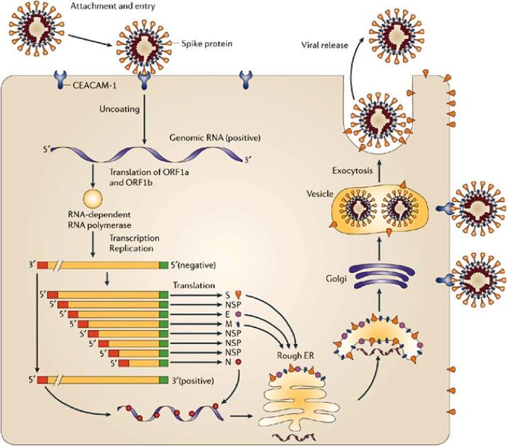 Signal-Pathway-of-Coronavirus-Replication